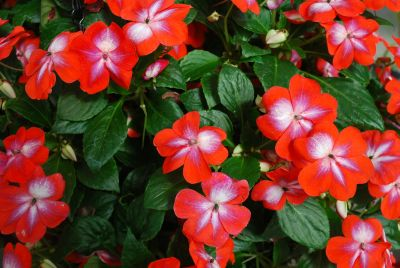 Patchwork Impatiens Cosmic Orange