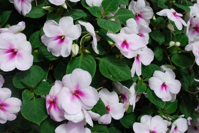 Patchwork Impatiens Pink Ice