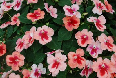 Patchwork Impatiens Pink Prism
