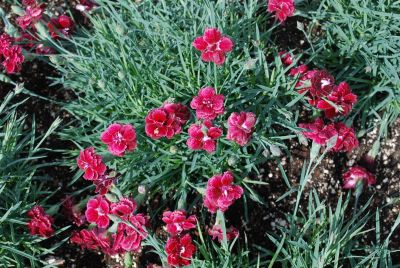 Fruit Punch&trade; Dianthus Black Cherry Wild