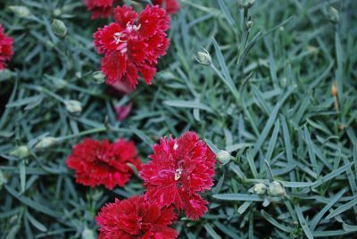 Fruit Punch&trade; Dianthus Pomegranate Punch